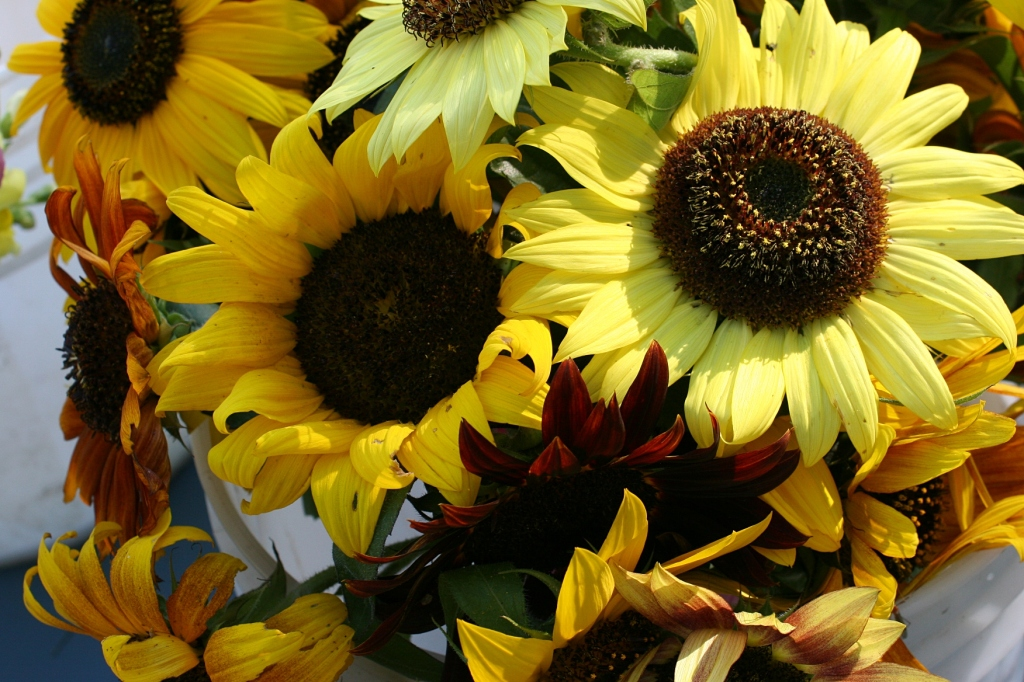 Sunshine drenched sunflowers Saturday morning at the Faribault Farmers' Market.