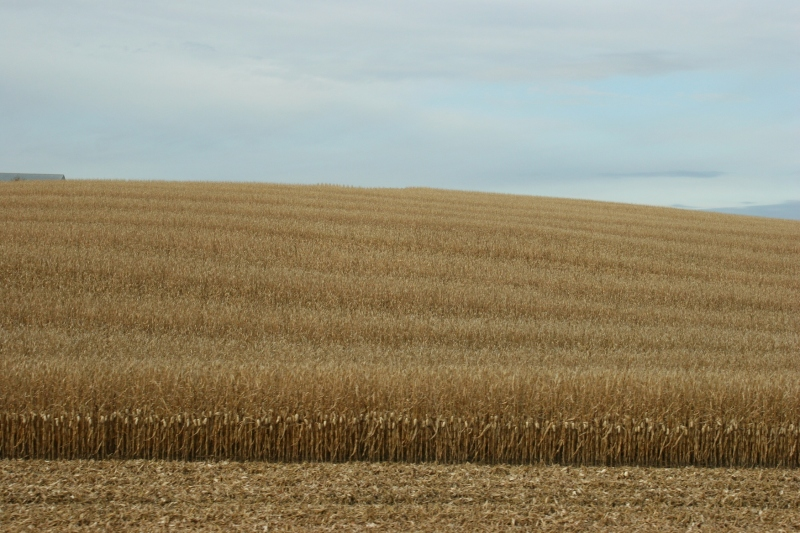 Nearing the end of October, some corn remained to be harvested.