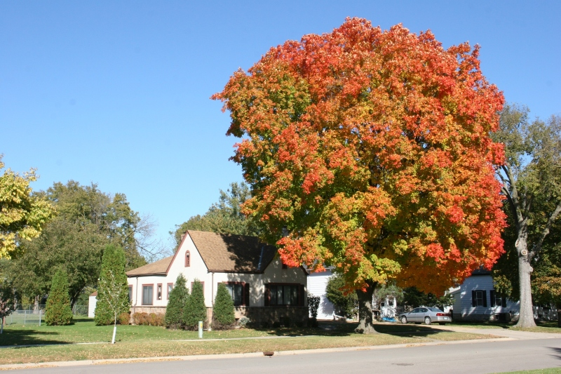 Gorgeous fall colors in a tree along Fifth Street Northwest across from Trinity Lutheran Church.