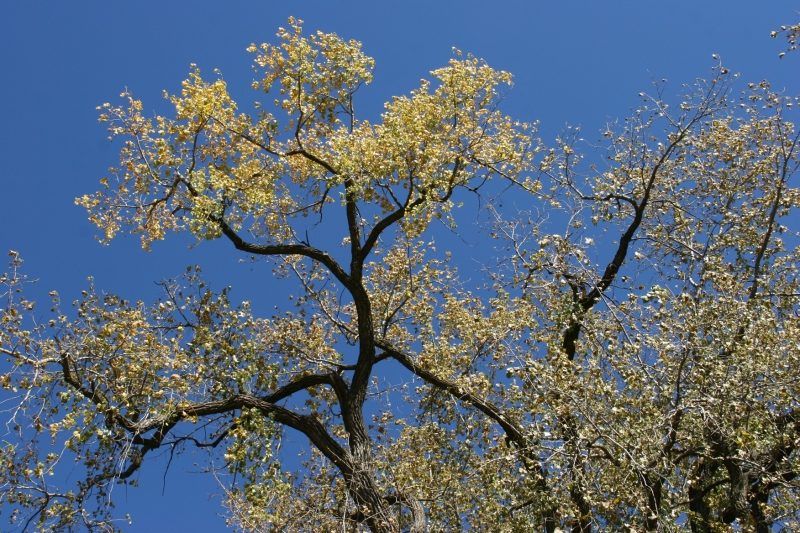A deep blue sky provides the backdrop for aged cottonwood trees in River Bend Nature Center, Faribault.