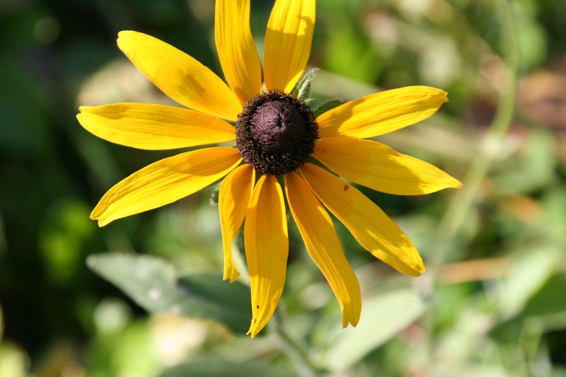 A black-eyed susan adds a jolt of color to a road ditch at River Bend Nature Center.