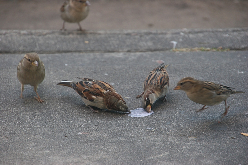This clutch of birds dipped their beaks into spilled ice cream outside The Pearl.