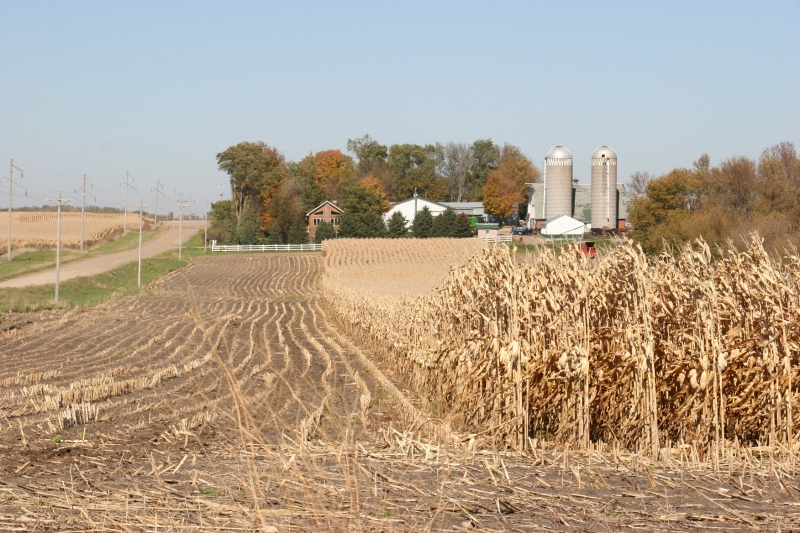 Farmers race against time to harvest the crop.