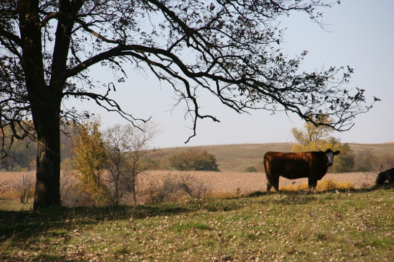 And then, the pastoral scene of cattle in pasture.