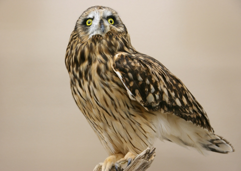 A beautiful taxidermied Short-eared Owl.