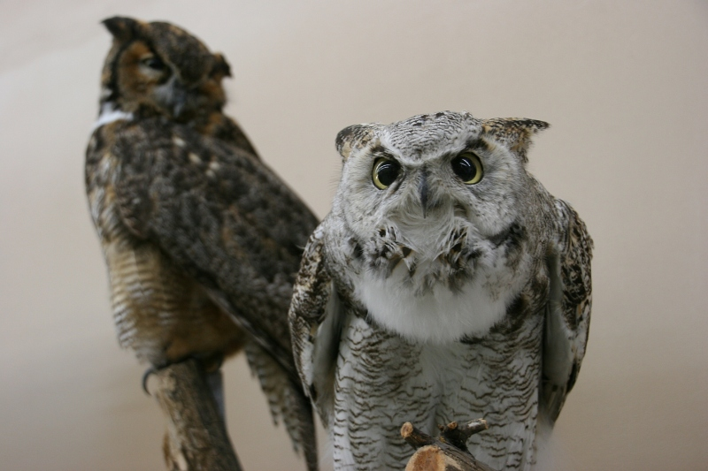 It's all about the eyes in owls, including these in a Great Horned Owl on display.