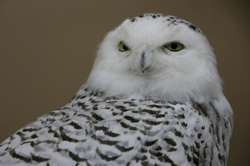 A Snow Owl, the dreamiest of owls, in my opinion.