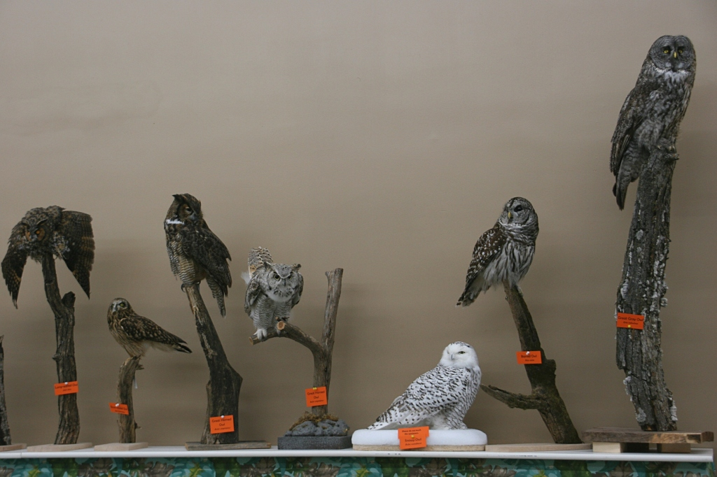 Taxidermied owls line a wall.