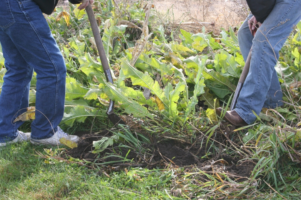 STEP ONE: Digging the horseradish, which grows like carrot roots underground.