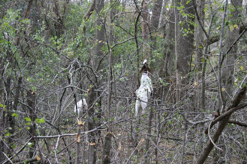 Goats graze on buckthorn at River Bend Nature Center, Minnesota Prairie Roots file photo October 2014.