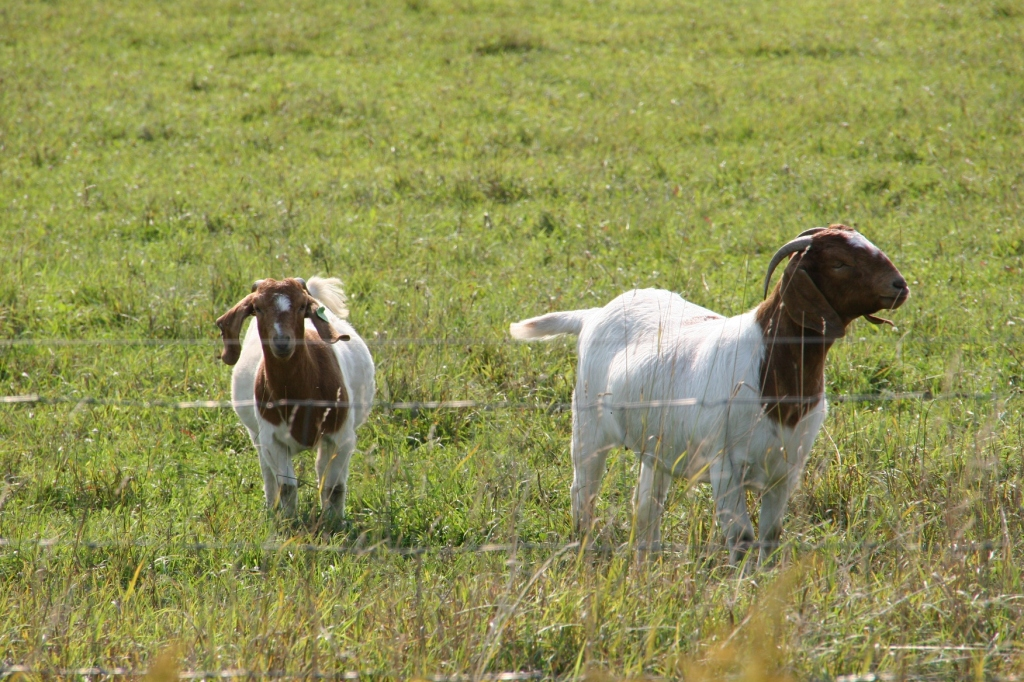 I photographed these goats grazing in a pasture near Northfield in August 2015. They are not a part of Goat Dispatch.
