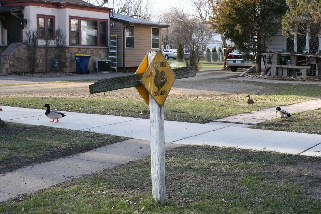 Ducks at a squirrel crossing, 178