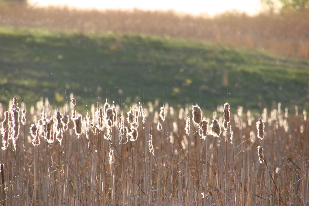 River Bend Nature Center, 55 cattails at twilight