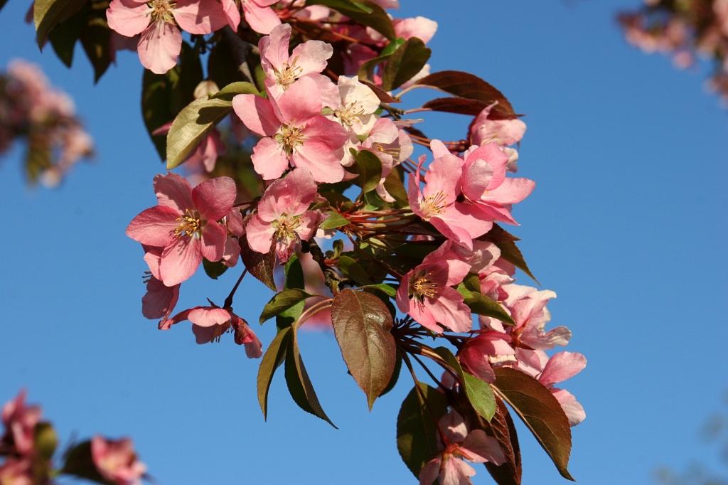 River Bend Nature Center, 62 crab apple blossoms