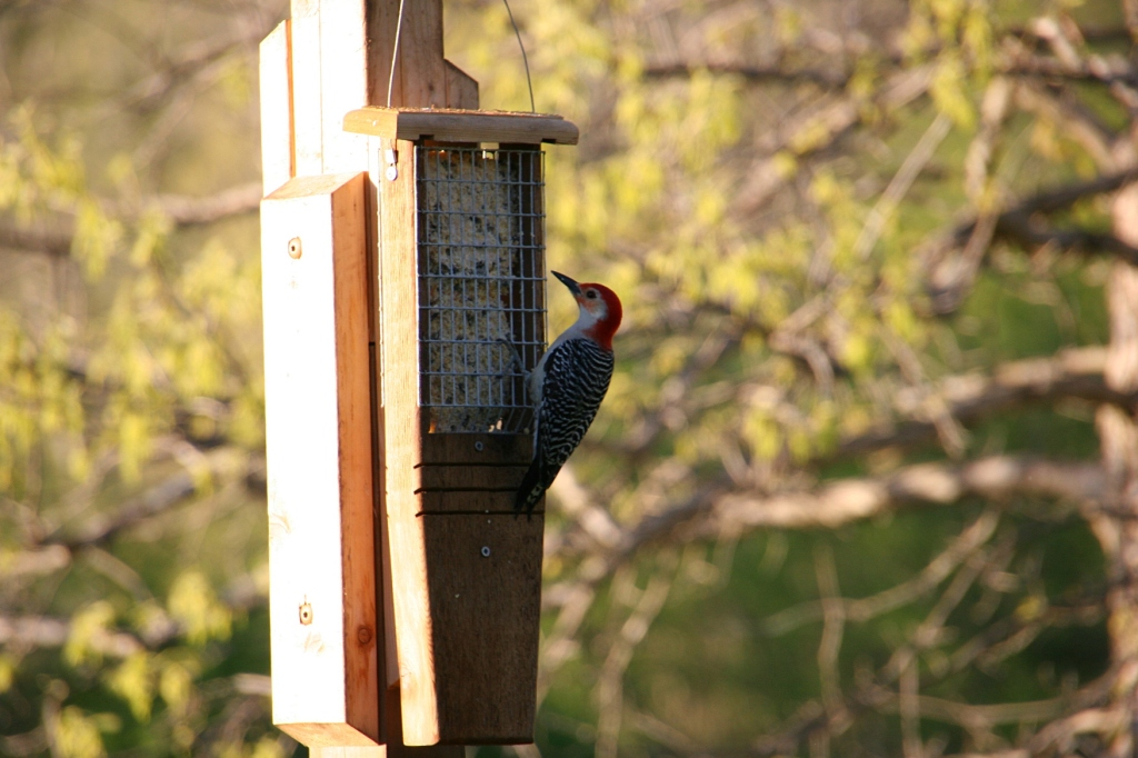 River Bend Nature Center, 67 red-headed woodpecker