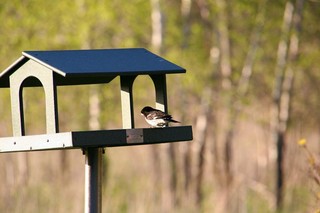 River Bend Nature Center, 77 bird at feeder