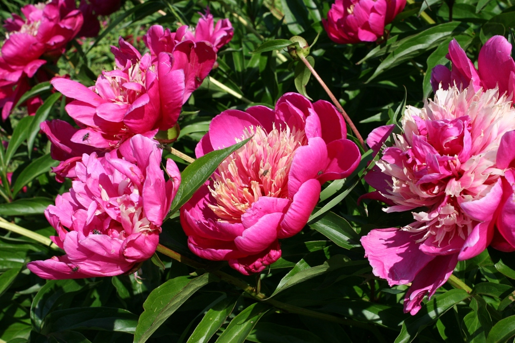 So many lovely peonies in multitudes of colors, shapes and scents.
