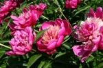 Aspelund Winery & Peony Gardens, 30 pinkpeonies