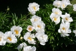 Aspelund Winery & Peony Gardens, 33 whitepeonies