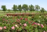 Aspelund Winery & Peony Gardens, 36 peonyfields