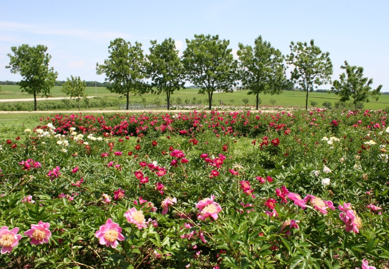There are rows and rows and rows of peonies.