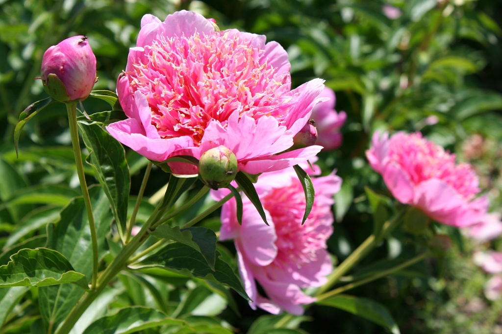 I couldn't get enough of the peonies, even if most were past peak bloom.