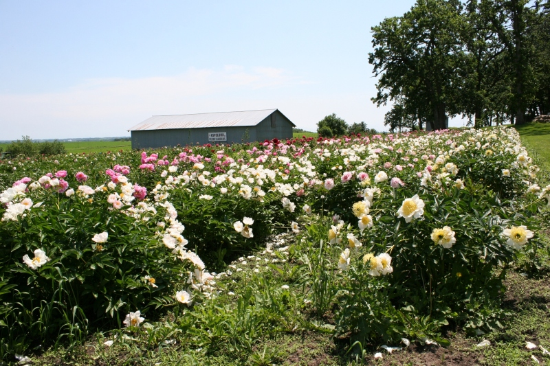 These peonies have been growing for seven years now on the Rohl property.