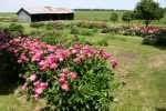 Aspelund Winery & Peony Gardens, 70 peonies andshed