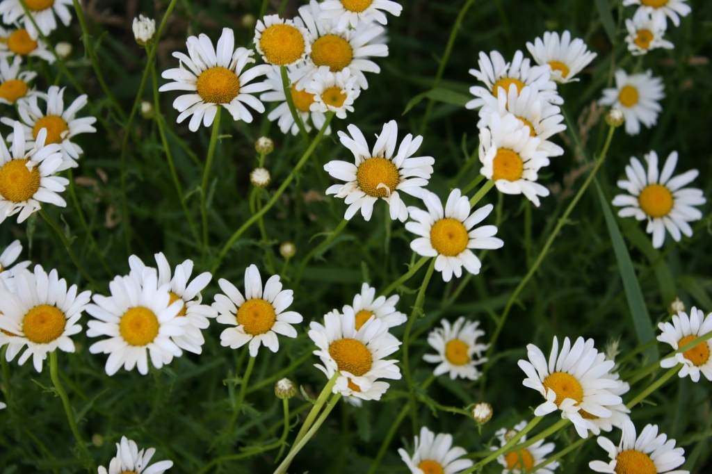 Hardy daisies thrive next to the schoolhouse.