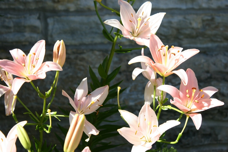 Lovely lilies in a side garden remind me of