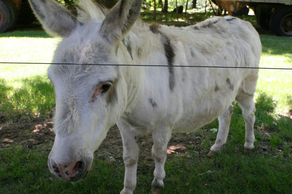 An electric fence keeps the donkeys penned in the pasture.