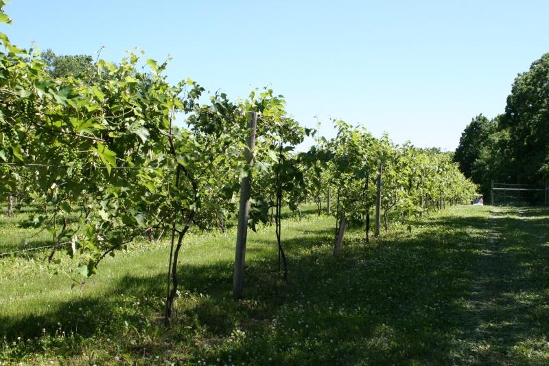 Touring the vineyard.