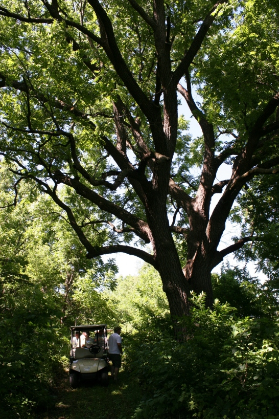 The Minnesota Department of Natural Resources inspected this tree and estimates its age at 200-225 years, one of the oldest walnut trees in Rice County.