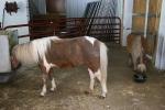 Little ponies, Sibley Park,Mankato