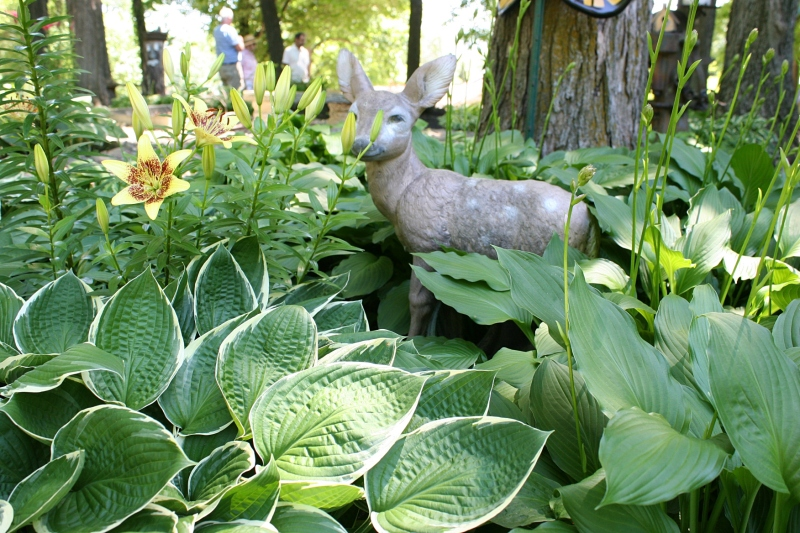 Hostas thrive in the full and dappled shade of the McAdam's yard.