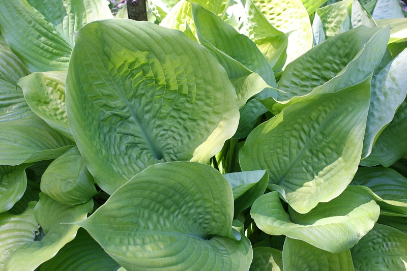 A most impressive hosta with elephant ear sized leaves.