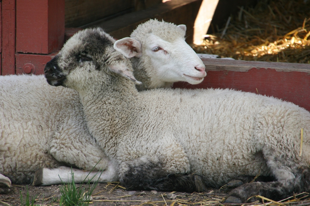 The sheep were snuggling on the spring day I visited Sibley Farm.