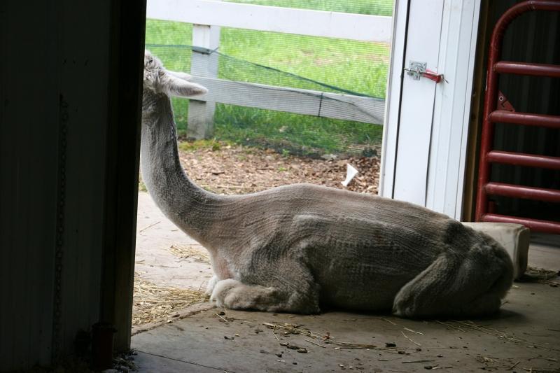 A shorn alpaca.