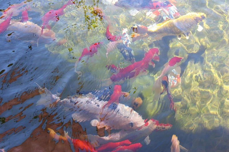 Sixty to seventy fish (guppies and koi) swim in the Siegfrieds' pond.