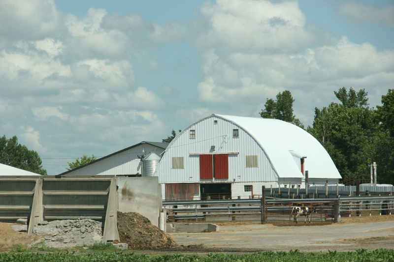 Barn, 145 white barn & cow