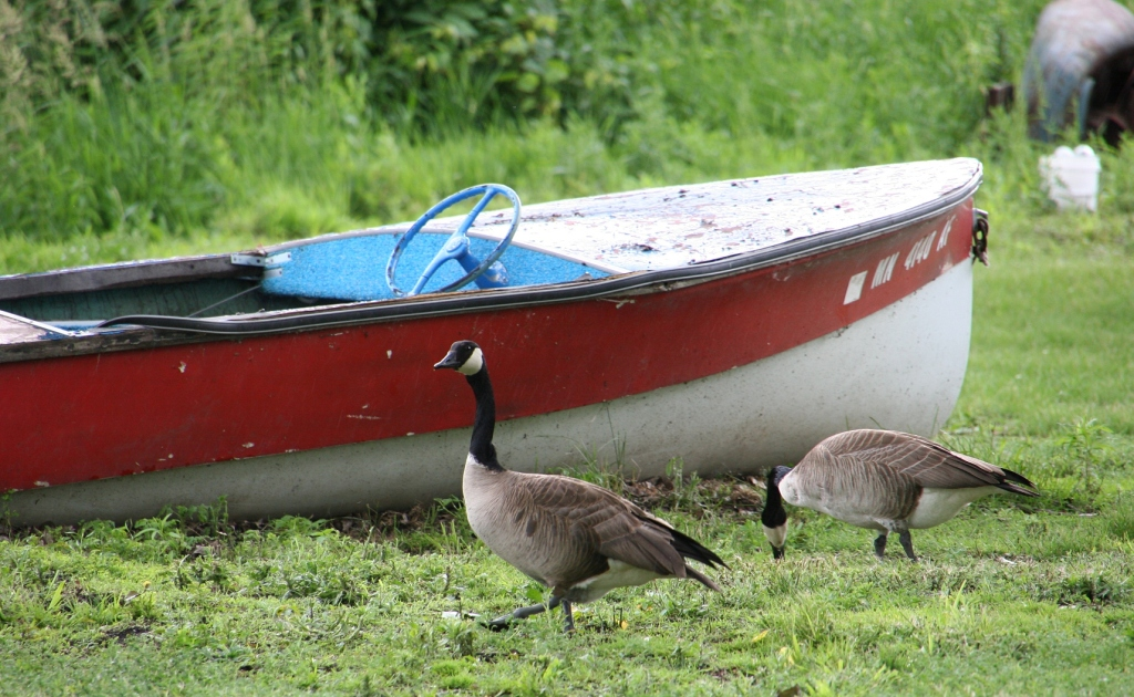 Geese wander the shore of the on-site pond.