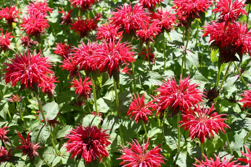 Bee balm jolts color into the front yard.