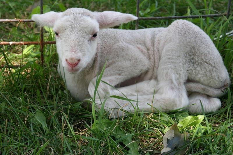 Shepherd's Way Farms, 111 white lamb