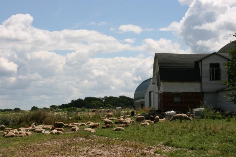 Shepherd's Way Farms, 127 sheep by barn