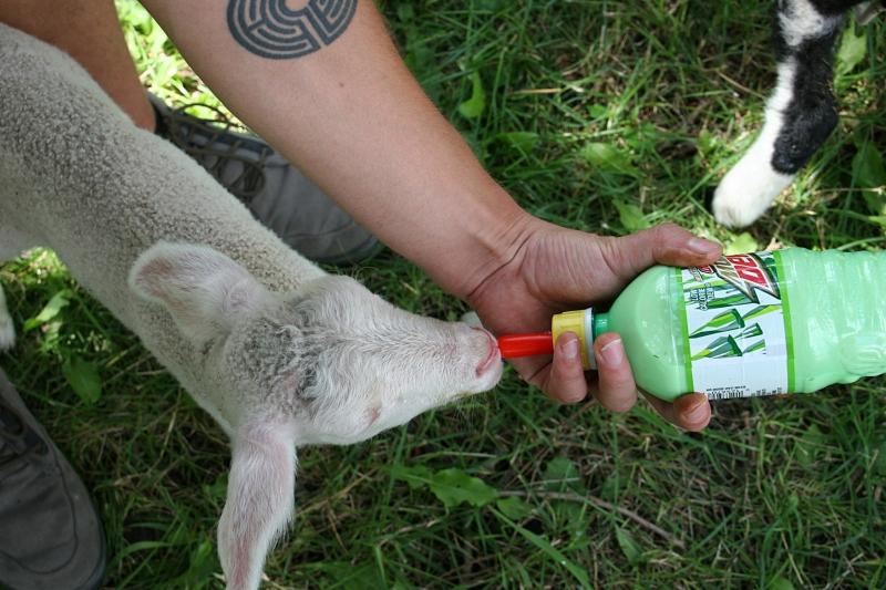 Shepherd's Way Farms, 150 bottle feeding lamb