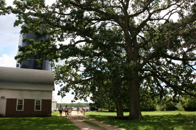 Incredible aged oaks tower near the old barn.