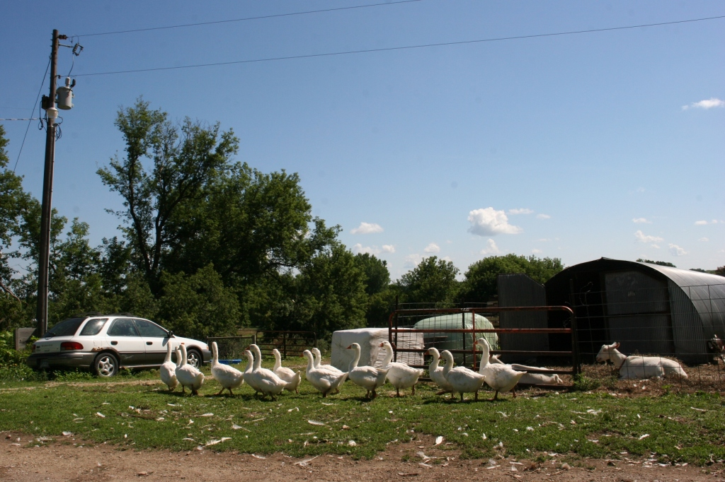 Simple Harvest Organic Farm, 18 geese walking