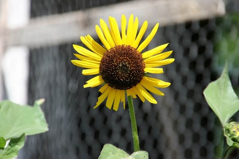 I photographed this sunflower by the chicken coop.