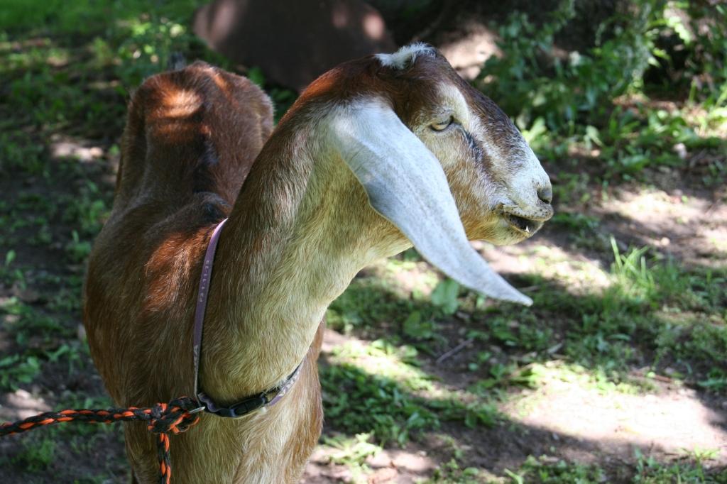 Simple Harvest Organic Farm, 39 goat close-up