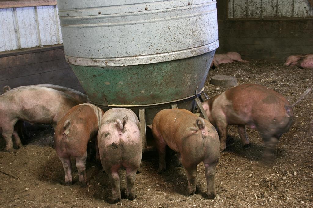 Simple Harvest Organic Farm, 69 pigs